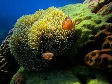 wonderfull neno ( ikan badut di karimunjawa